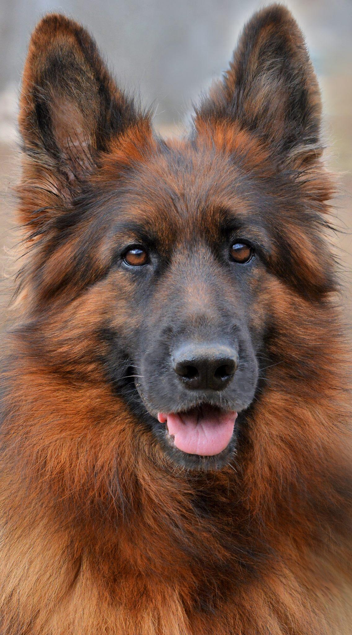 long coat german shepherd