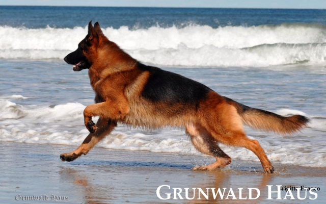 best german shepherds