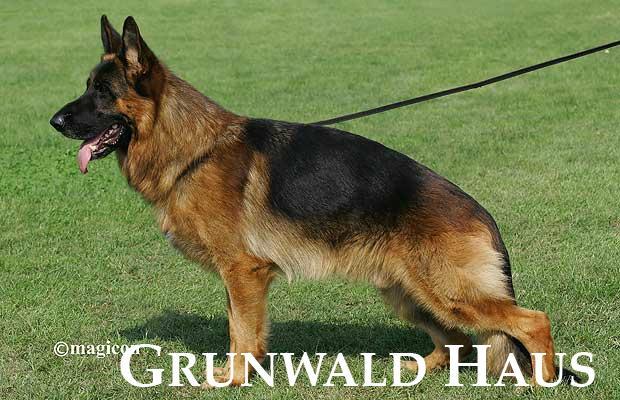 best german shepherds