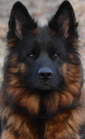 long coated german shepherd