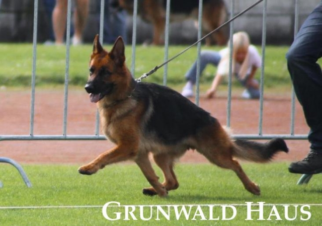 german shepherds new england