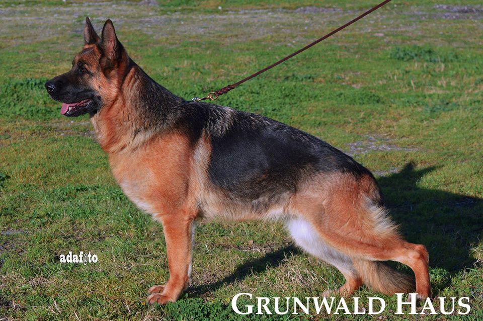 german shepherds rhode island