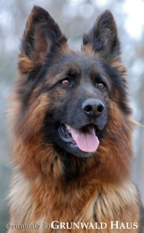 long coated german shepherd
