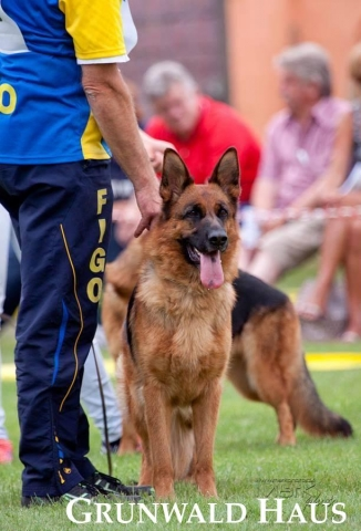 german shepherds massachusetts