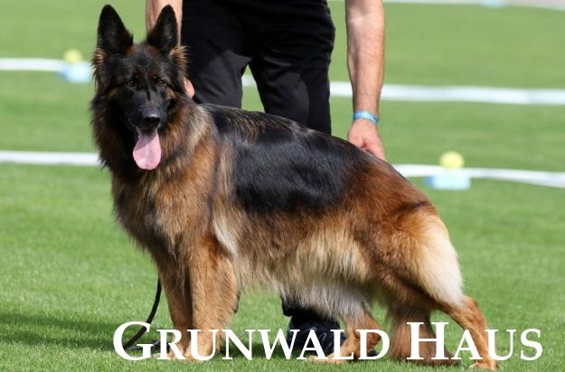 long hair german shepherd dogs