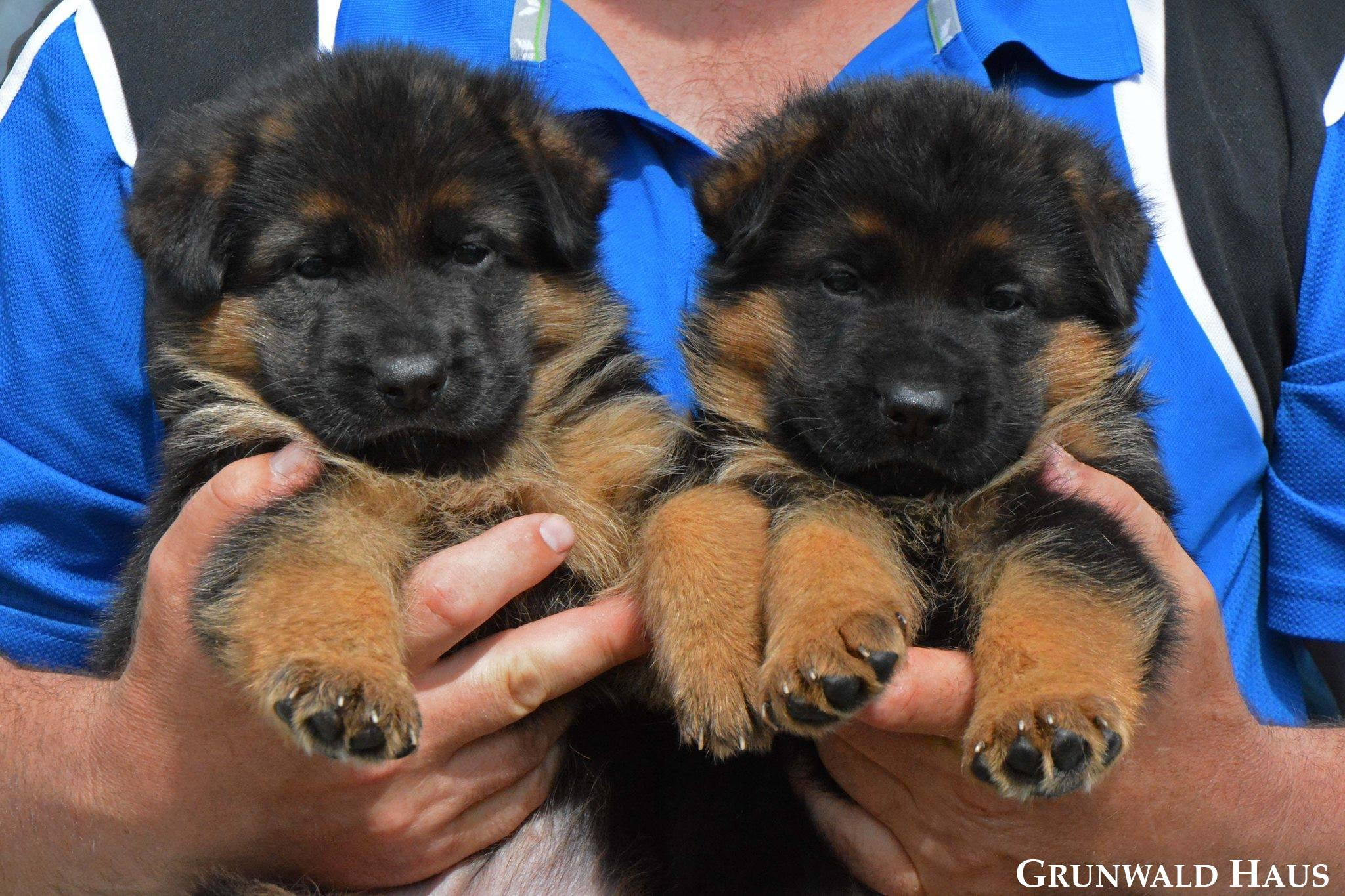 long coat german shepherd puppies
