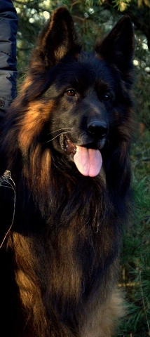 long hair german shepherd